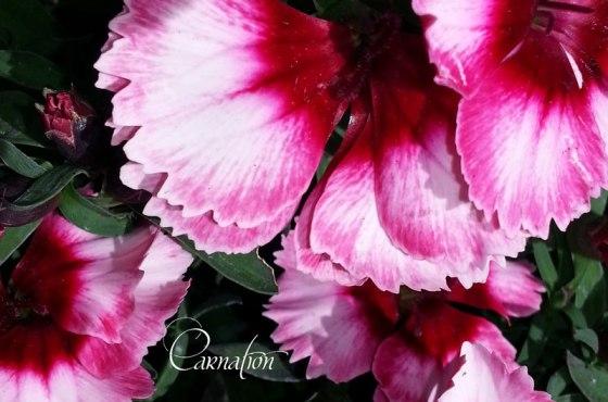 Carnation-w