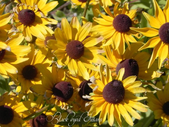 Black-Eye-Susans