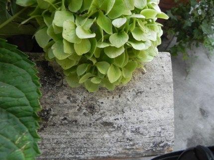 hydrangea-against-barnwood