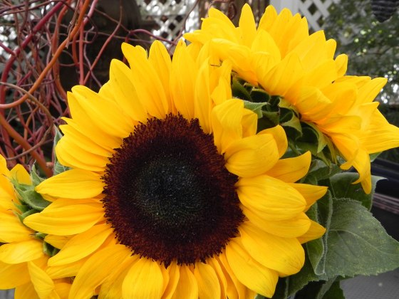 Sunflower-upclose