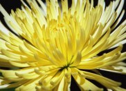 Spider-Chrysanthemum